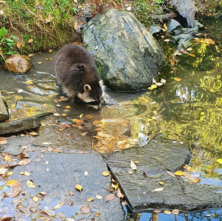 Racoon at the zoo