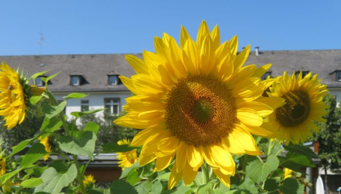 Sunflowers, Sauerland Park, 2021